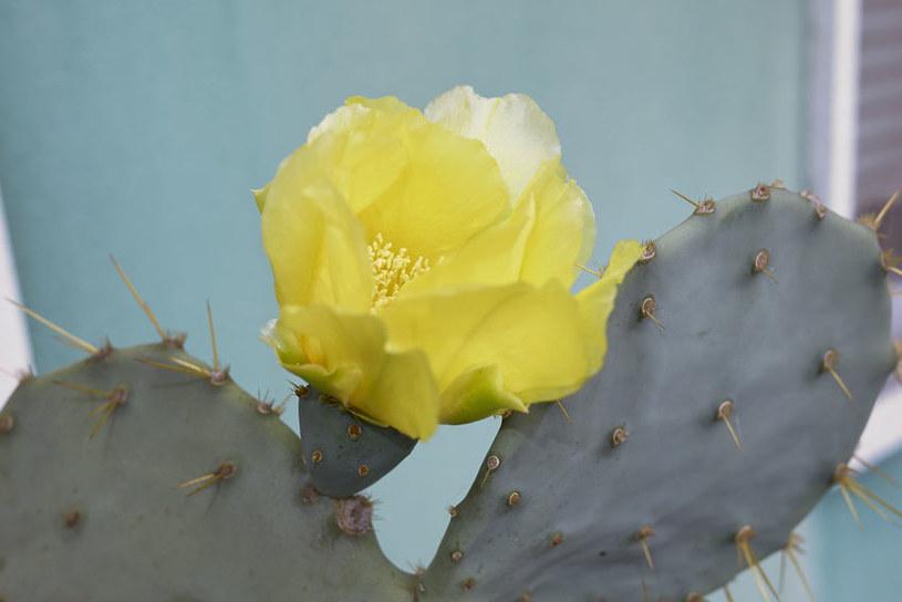 Kwiat kaktusa /©123RF/PICSEL