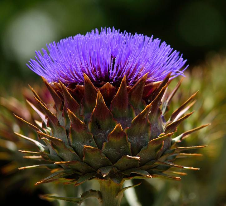 Kwiat kardu /©123RF/PICSEL