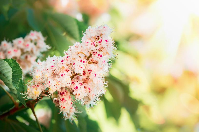 Kwiat kasztanowca pomoże zwalczyć cellulit /123RF/PICSEL