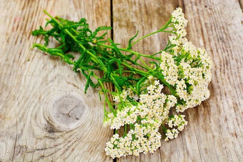 Kwiat krwawnika /123RF/PICSEL