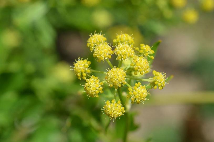 Kwiat lubczyku /©123RF/PICSEL