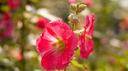 Kwiat malwy na kaszel i wzmocnienie