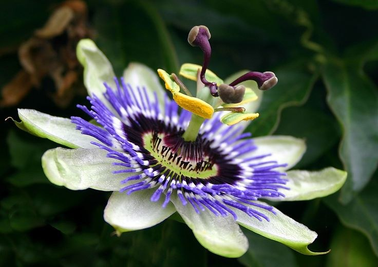 Kwiat męczennicy /© Photogenica