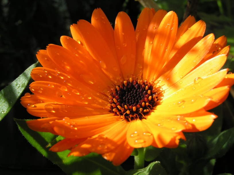 kwiat nagietka /© Photogenica