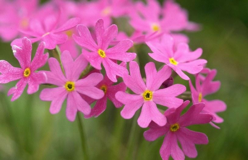 Kwiat rośnie głównie na terenach podmokłych i górskich /East News