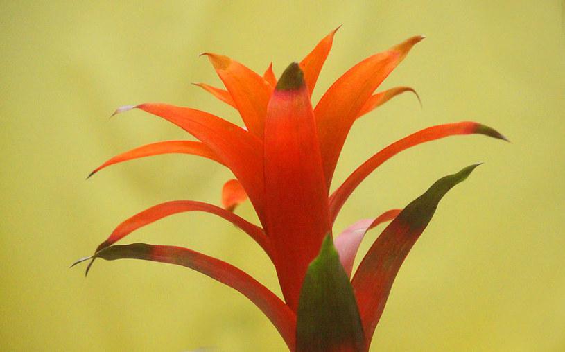 Kwiatostan guzmanii /©123RF/PICSEL