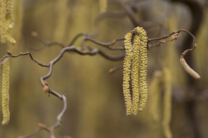 Kwiatostan leszczyny /©123RF/PICSEL