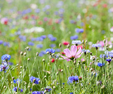 Kwiatowa łąka zamiast trawnika, czyli ogrodowy hit