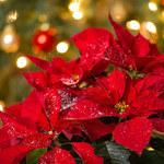 Kwiaty bożonarodzeniowe: Jak je pielęgnować?