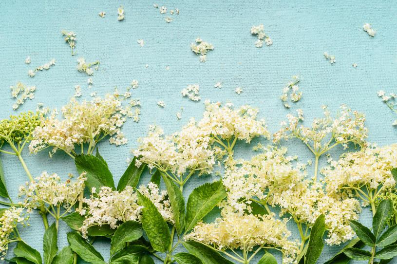 Kwiaty czarnego bzu są wykorzystywane do produkcji preparatów leczniczych /123RF/PICSEL