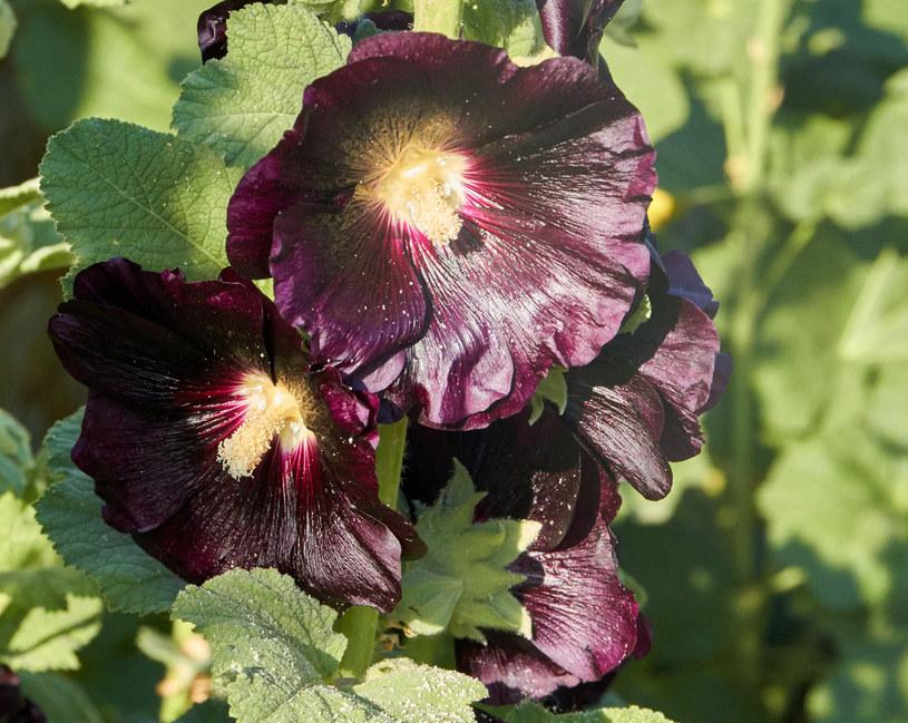 Kwiaty czarnej malwy stosowane są w ziołolecznictwie /123RF/PICSEL