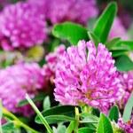 Kwiaty czerwonej koniczyny ochronią serce i złagodzą skutki menopauzy