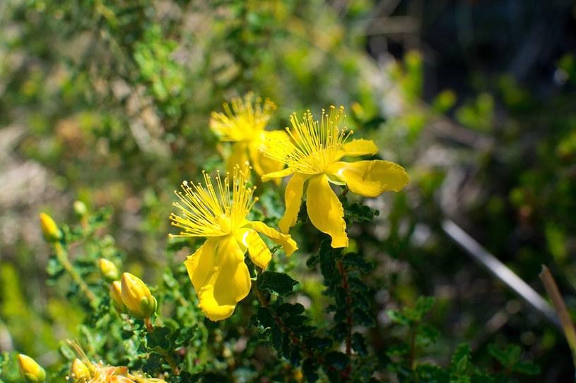 Kwiaty dziurawca zwyczajnego /©123RF/PICSEL