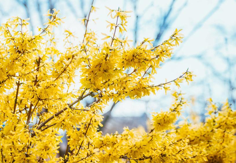https://i.iplsc.com/kwiaty-forsycji-mozna-spozywac-jako-dodatek-do-kanapek-czy-s/00080R0KSLL8C016-C122-F4.jpg
