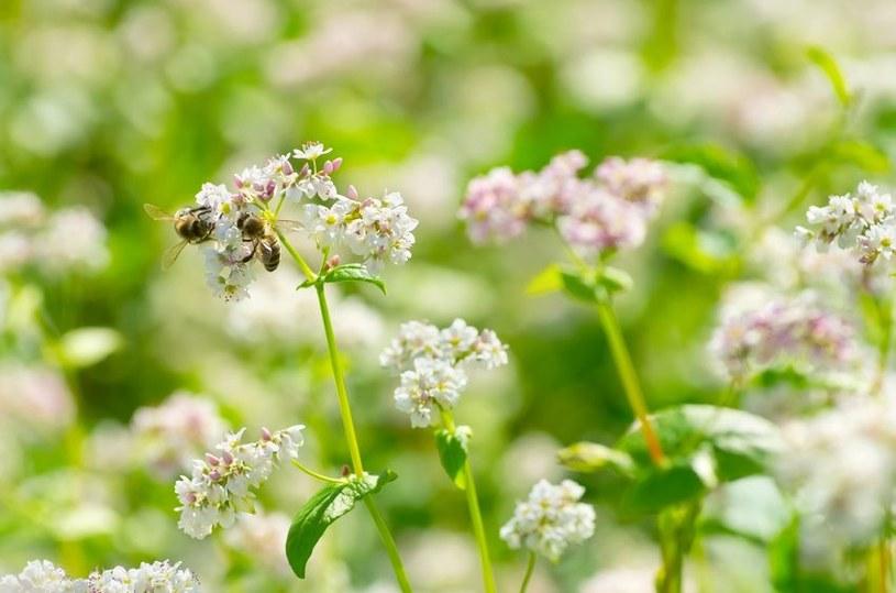 Kwiaty gryki /©123RF/PICSEL