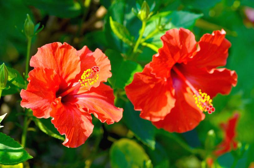 Kwiaty hibiskusa /©123RF/PICSEL