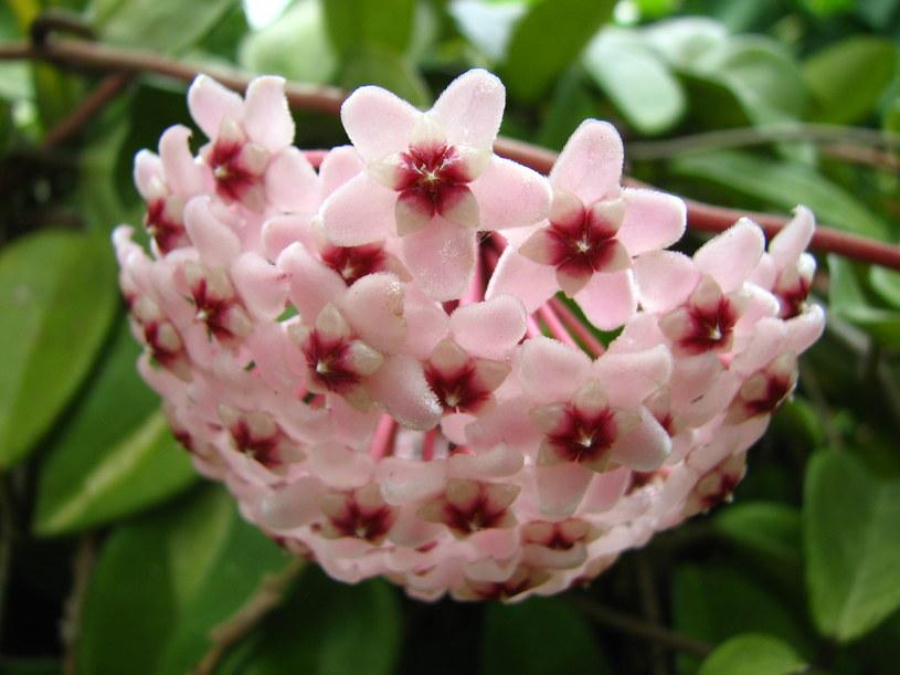 Kwiaty hoji sa niezwykle atrakcyjne /123RF/PICSEL