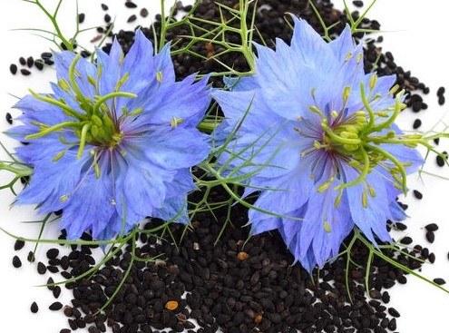 Kwiaty i nasiona czarnuszki /©123RF/PICSEL
