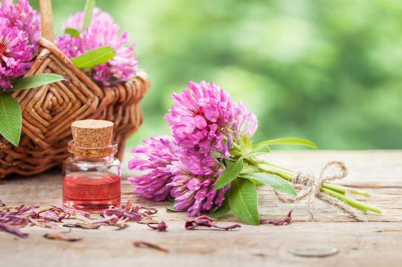 Kwiaty i ziele koniczyny czerwonej obfitują w szereg cennych dla zdrowia składników /123RF/PICSEL