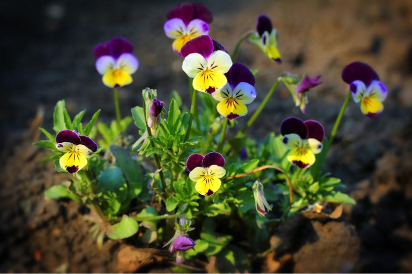 Kwiaty jadalne ozdobią sałatkę i poprawią jej właściwości zdrowotne /123RF/PICSEL