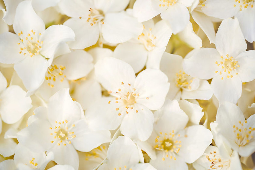 Kwiaty jaśminu /©123RF/PICSEL