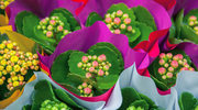 Kwiaty, które kwitną zimą