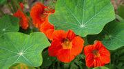 Kwiaty, które odstraszą szkodniki