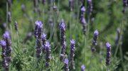 Kwiaty, które odstraszają insekty