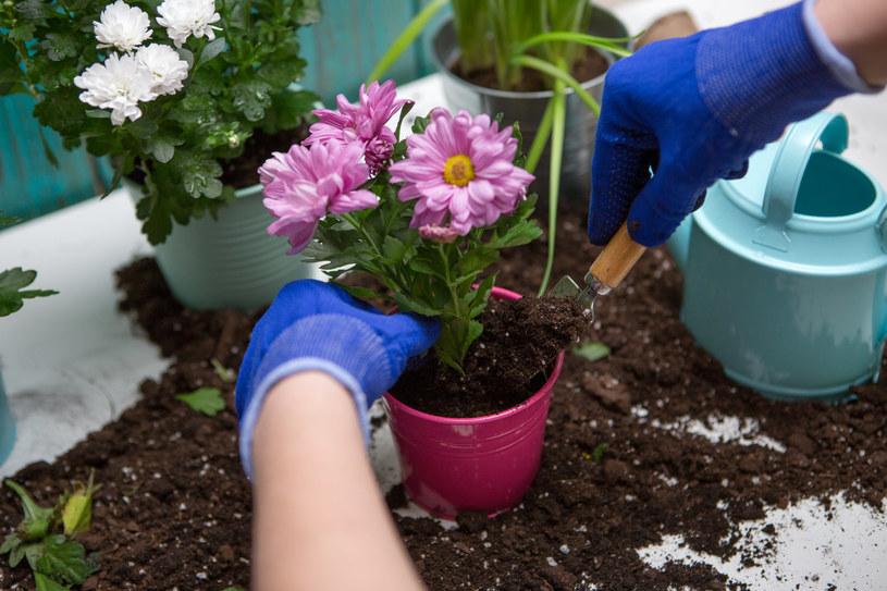 Kwiaty kupione w sklepie, dobrze jest przesadzić do doniczek z większą ilością ziemi /123RF/PICSEL