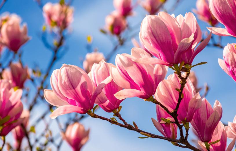 Kwiaty magnolii pomocne są w przypadku kataru i problemów z zatokami - oczywiście w formie naparu /123RF/PICSEL