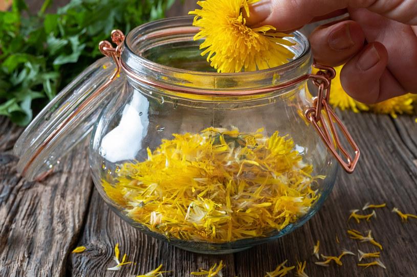Kwiaty mniszka lekarskiego najlepiej zbierać w słoneczne dni /123RF/PICSEL