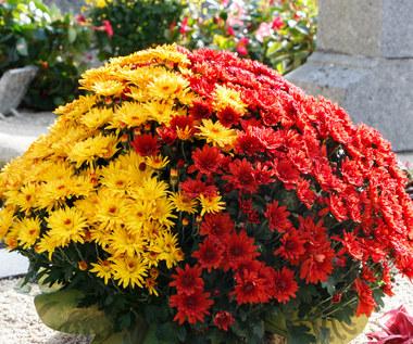 Kwiaty na cmentarz: Jak dbać o rośliny kupione przed dniem Wszystkich Świętych?