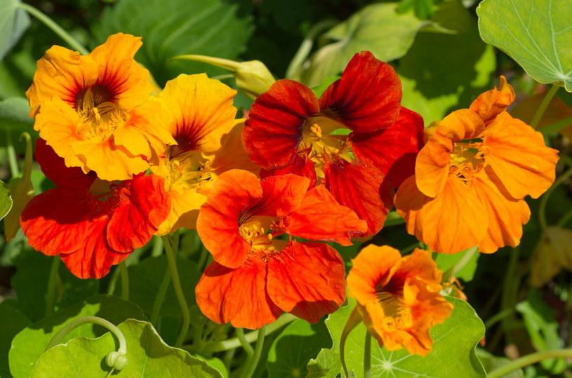 Kwiaty nasturcji /©123RF/PICSEL