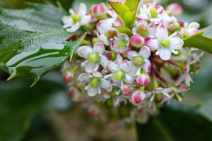 Kwiaty ostrokrzewu /©123RF/PICSEL