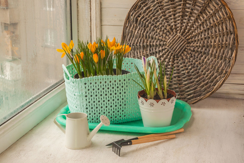 Kwiaty po zimie potrzebują odpowiedniej pielęgnacji, by zakwitnąć wiosną /123RF/PICSEL