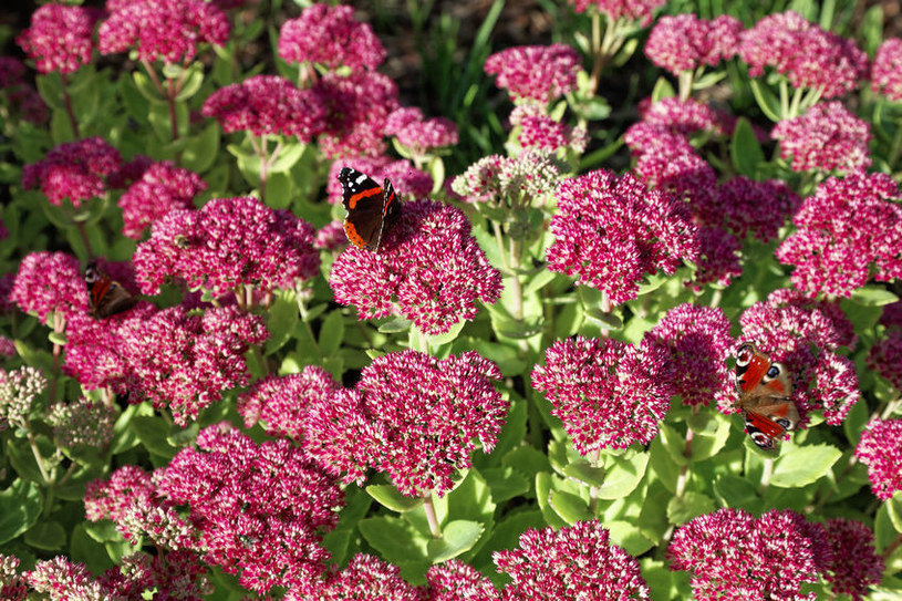 Kwiaty rozchodników /©123RF/PICSEL