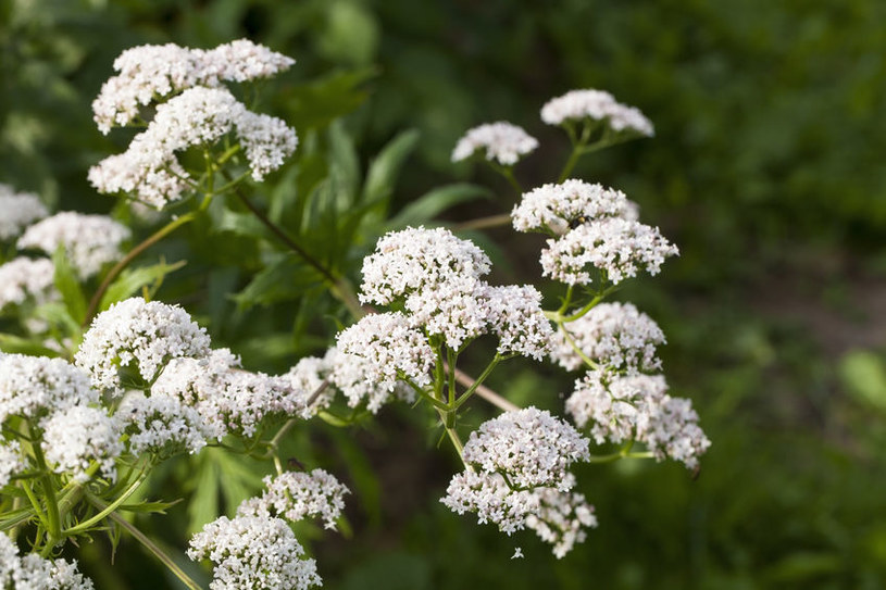 Kwiaty waleriany /©123RF/PICSEL