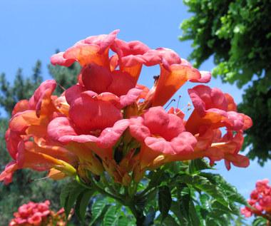 Kwiaty wieloletnie do ogrodu - długo kwitnące
