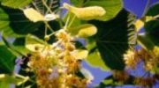 Kwiaty ze świętego drzewa