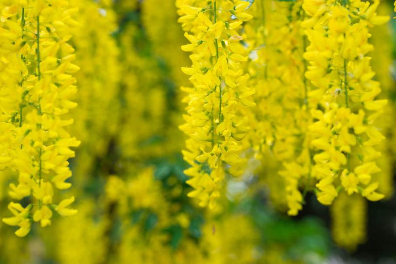 Kwiaty złotokapu /©123RF/PICSEL