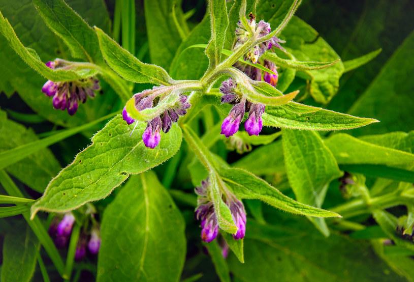 Kwiaty żywokostu lekarskiego /123RF/PICSEL