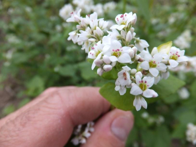 kwitnąca gryka /© Photogenica