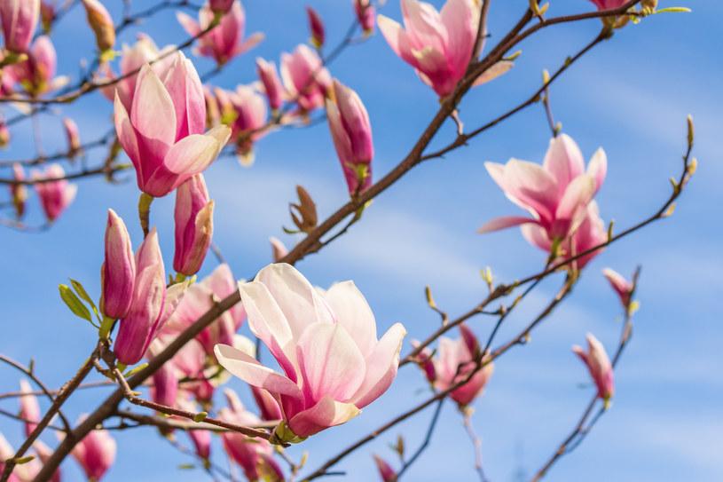 Kwitnąca magnolia, zdjęcie ilustracyjne /123RF/PICSEL