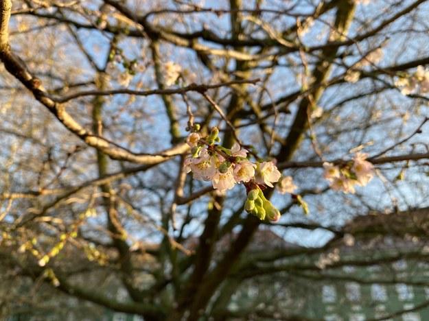 Kwitnące drzewo w Szczecinie /Aneta Łuczkowska /RMF FM