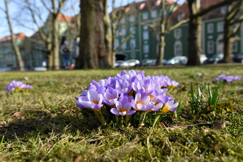 Kwitnące krokusy na Jasnych Błoniach w Szczecinie. Wysokie temperatury i słoneczna pogoda sprawiły, że wiele roślin zakwitło przedwcześnie / Marcin Bielecki    /PAP