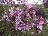 Kwitnące magnolie w Ogrodzie Botanicznym w Powsinie /INTERIA.PL