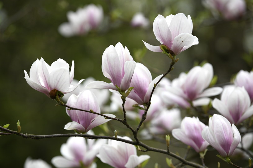 Kwitnące magnolie /Darek Delmanowicz /PAP