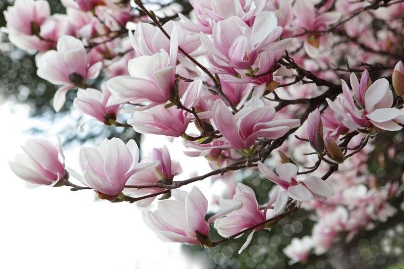 Kwitnące magnolie /©123RF/PICSEL