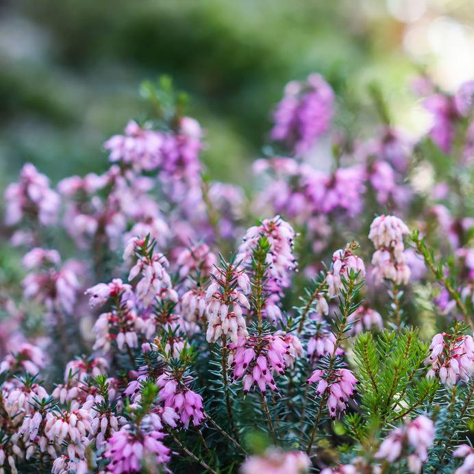 Kwitnące wrzośce /©123RF/PICSEL