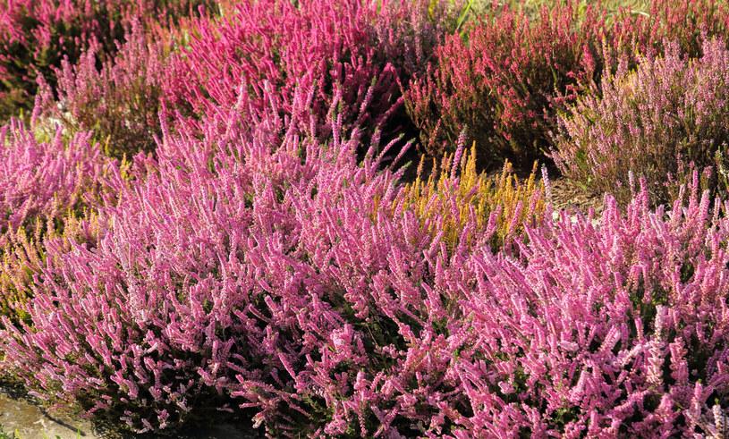 Kwitnące wrzosy kojarzone są z końcem lata i początkiem jesieni /123RF/PICSEL